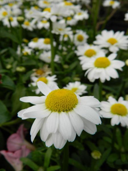 daisy-shasta-2