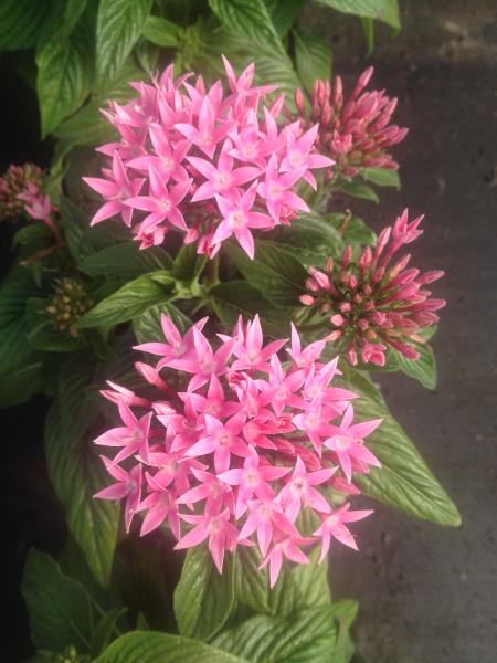 pentas-pink