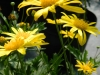 bush-daisy-2