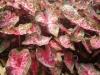 caladium-pink