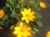 coreopsis-nana