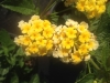 lantana-chapel-hill-yellow