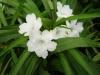 ruellia-dwarf-white
