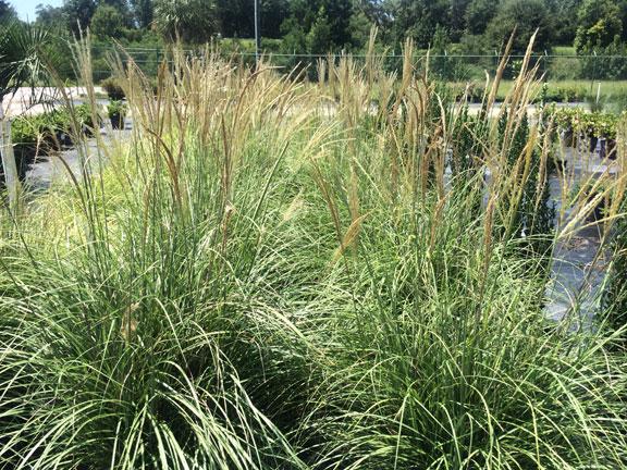 grass-miscanthus-1