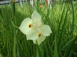 iris-african-yellow