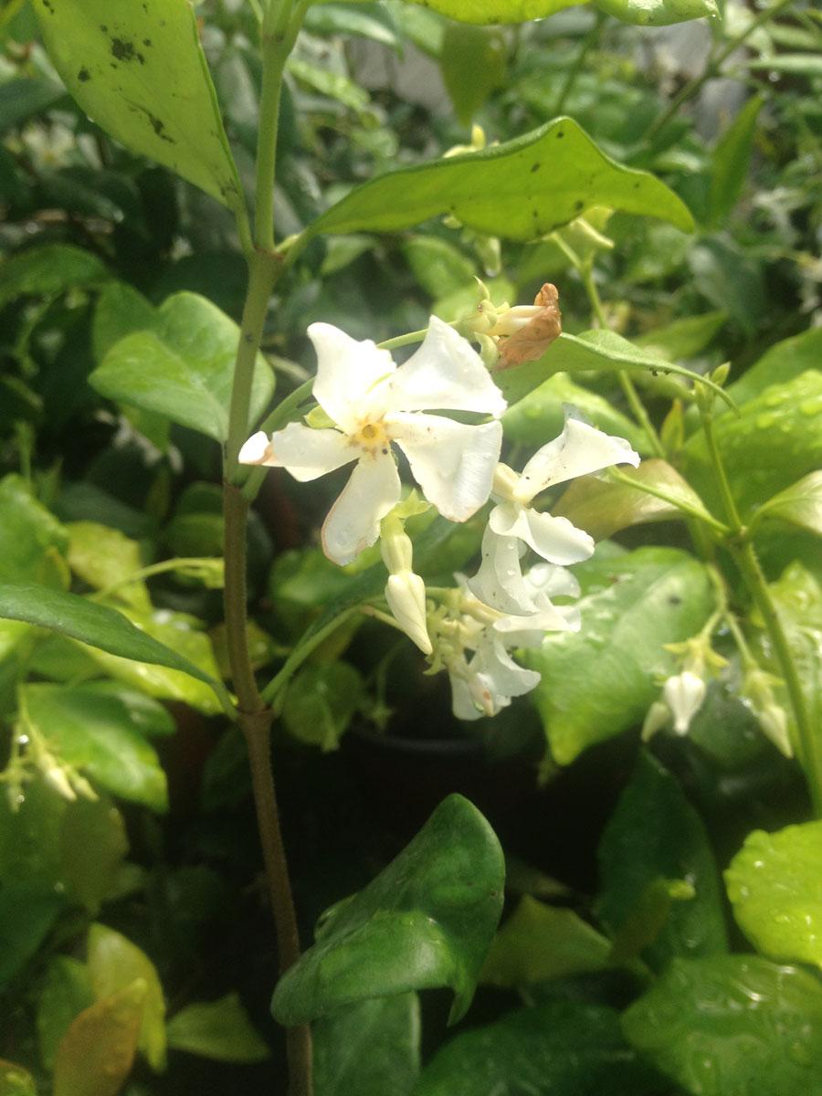 jasmine-confederate-2