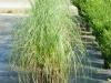 grass-pampas