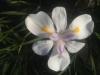 iris-white-1