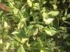jasmine-asiatic-variegated