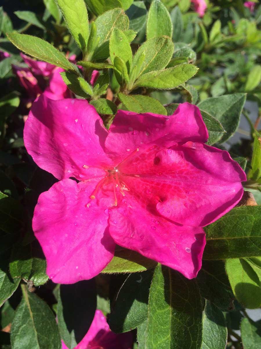 azalea-encore-sundance