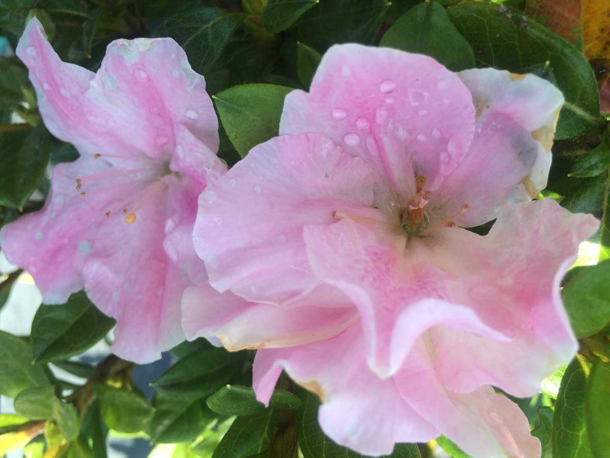 azalea-encore-sweetheart