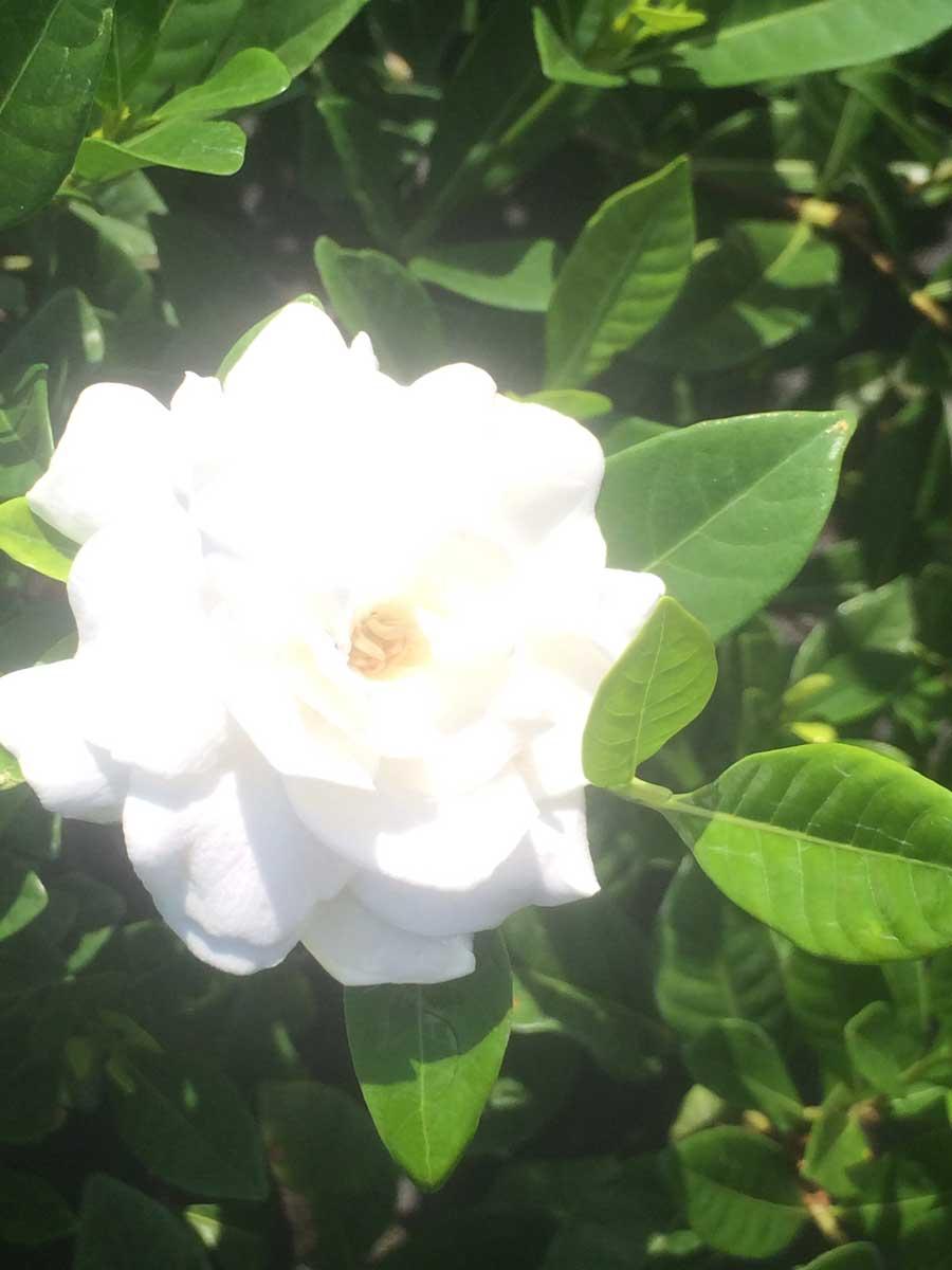 gardenia-vetchii