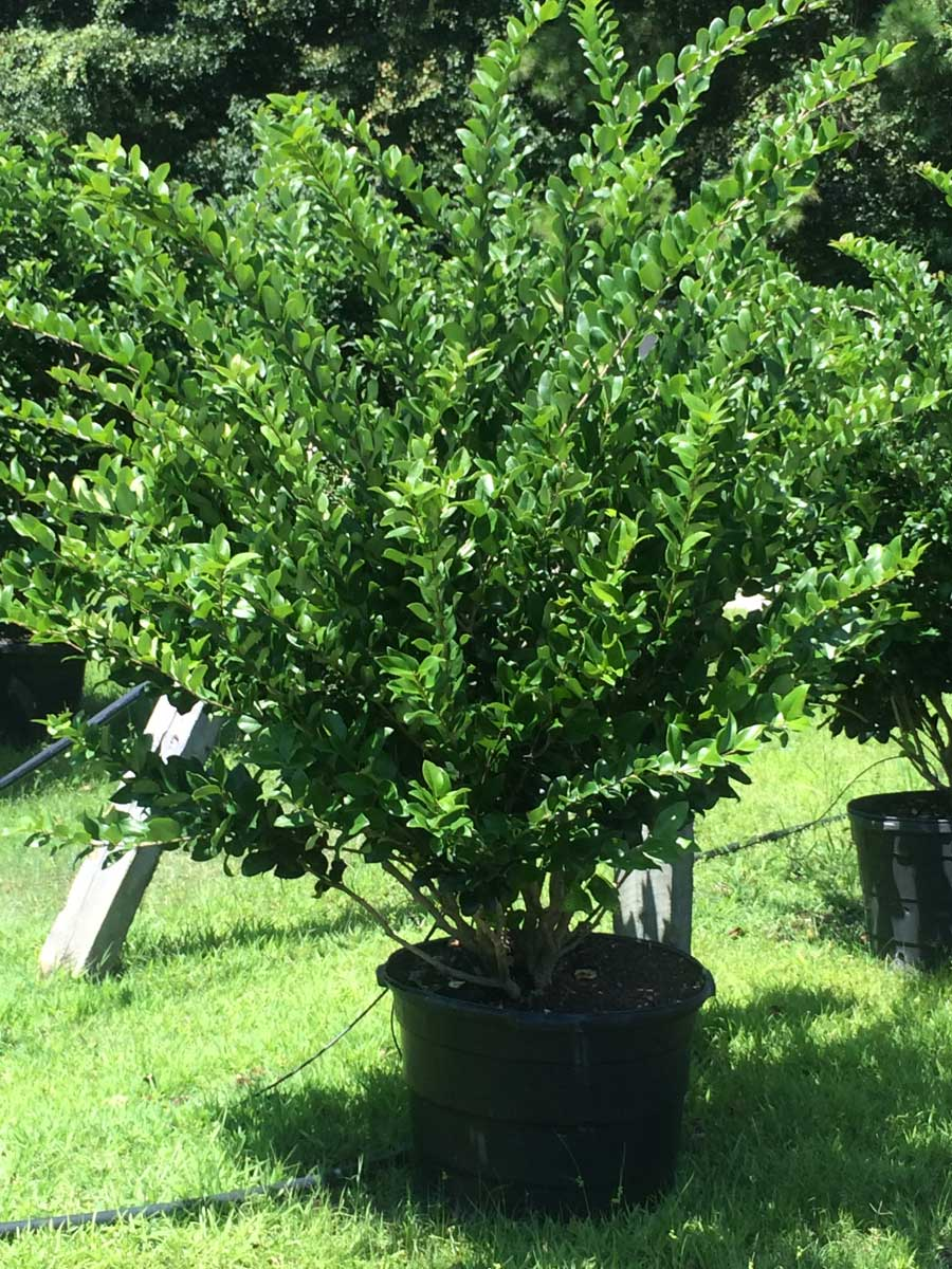 ligustrum-wax-leaf-2