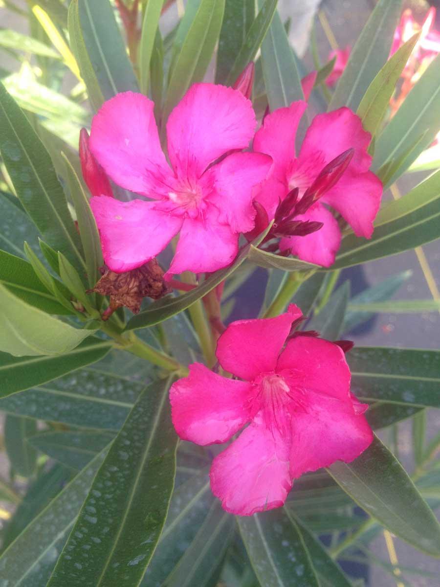 oleander-calypso