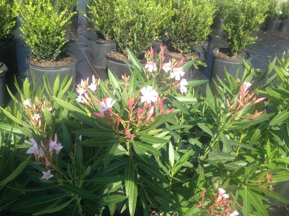 oleander-petite-pink