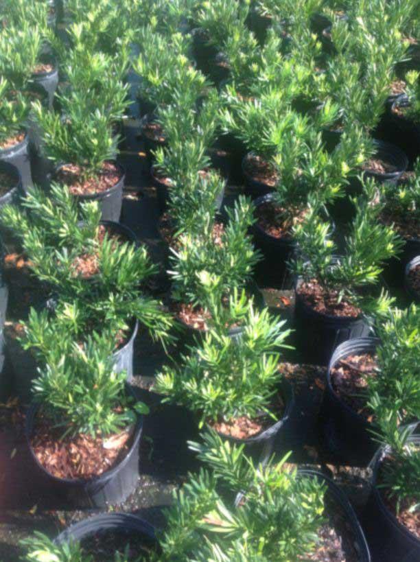 podocarpus-dw-pringles