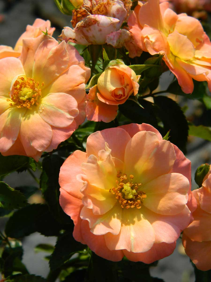 rose-drift-peach-2