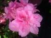 azalea-encore-carnation