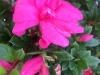 azalea-encore-empress