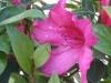 azalea-formosa-red