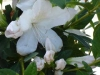 azalea-gg-gerbing