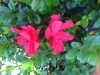 azalea-vivid-red