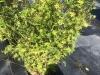 bamboo-fern-leaf