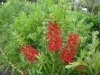 bottlebrush-red-cluster