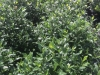 gardenia-august-beauty