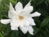 gardenia-frost-proof
