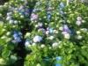 hydrangea-endless-summer