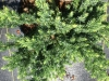 juniper-blue-pacific