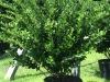 ligustrum-wax-leaf-2