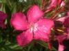 oleander-red