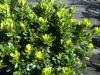 pittosporum-green
