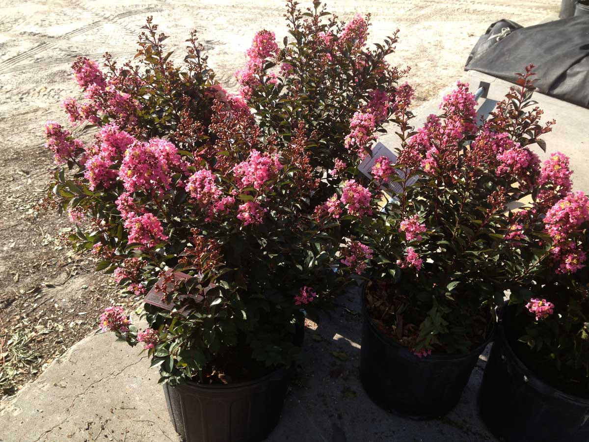 crape-myrtle-coral-magic