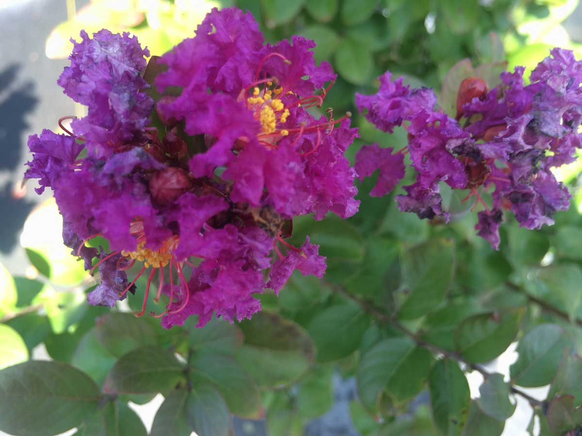 crape-myrtle-magic-purple