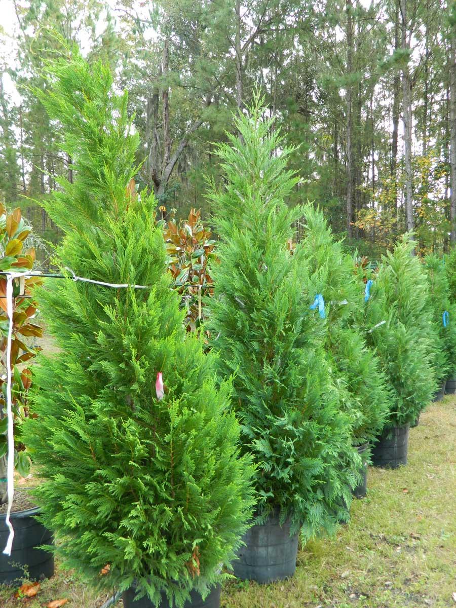 cypress-leylend