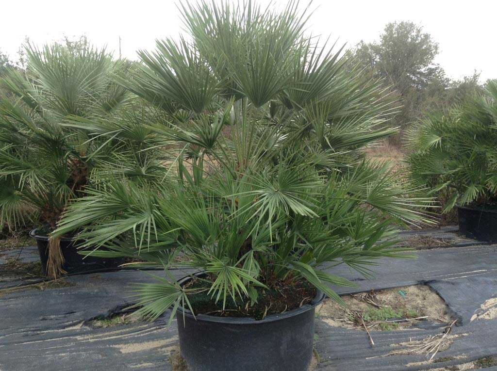 european-fan-palm-65-gallon-2