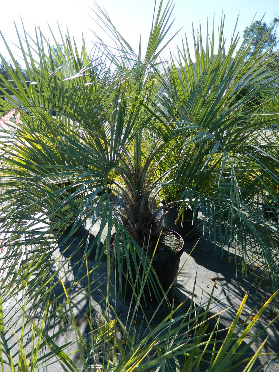 palm-pindo