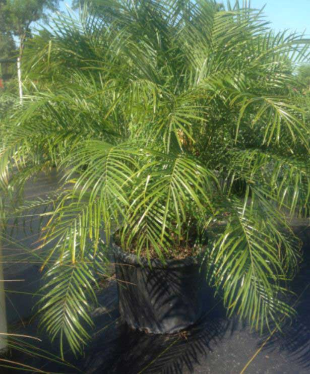 palm-pygmy-date