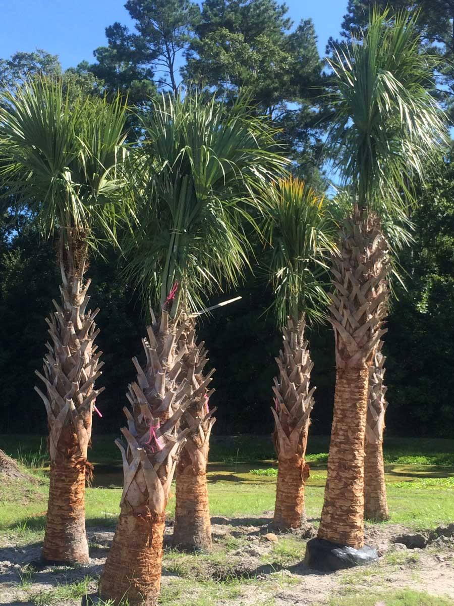 palm-sabal-refoliated
