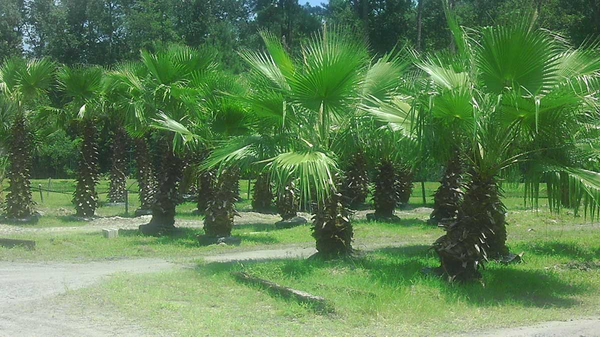 palm-washingtonia