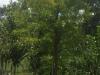 cypress-bald