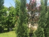 cypress-italian-2