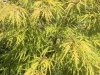 maple-japanese-green-weeping