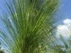 pine-long-leaf